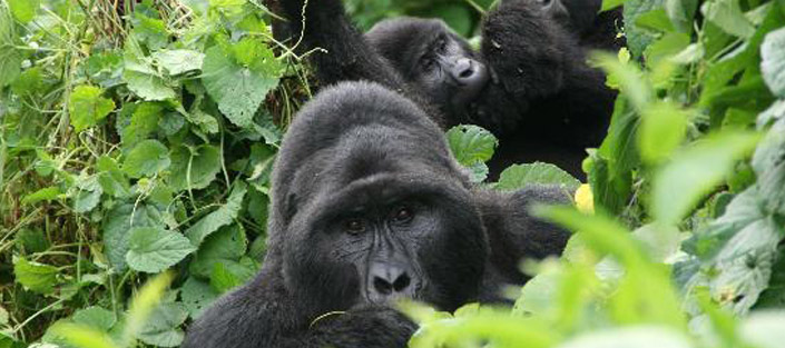 3-days-gorilla-for-bwindi_mountain_gorillas