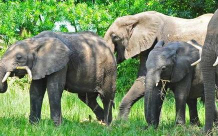 15-day-Uganda-safari-trekking-gorillas-safari-chimps-tracking-game-drives-culture.-All-inclusive-Uganda-tour-to-all-Uganda-national-parks-436x272