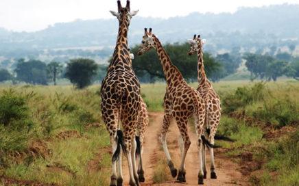 Kidepo-Park-Safari-Murchison-Falls-National-Park-Safari-7-Days-436x272
