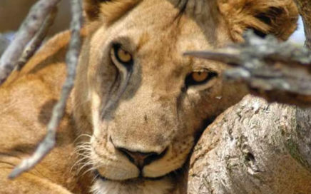 Uganda-Gorilla-Queen-Elizabeth-Safari-4-Days-436x272