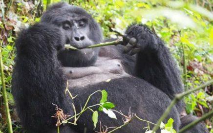 Uganda-Primate-Tour-Bwindi-Gorilla-Tracking-Kibale-Chimp-Trek-5-Days-436x272